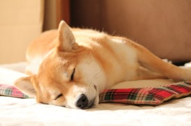 眠る柴犬イメージ