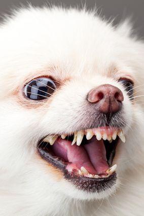 怒った老犬