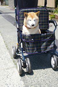カートに乗った老犬