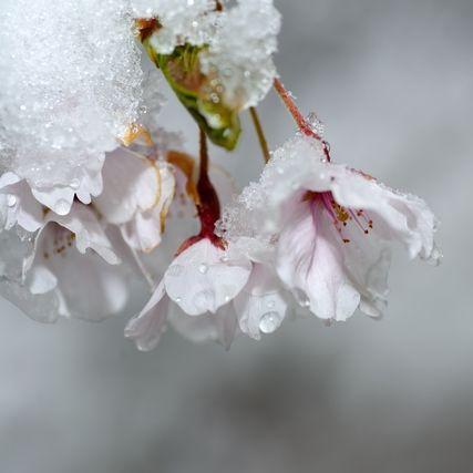雪と桜のイメージ