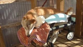 老犬ホーム花園牧場 食後の体勢