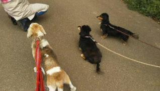 老犬ホーム花園牧場 夕方のお散歩