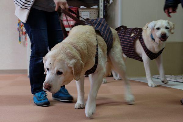 北海道盲導犬協会の退役犬