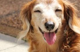 老犬の画像