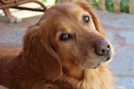 老犬ケア ゴールデンレトリバー