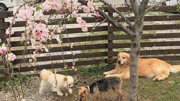 老犬ホーム九十九里パーク お花見
