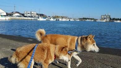 老犬ホーム九十九里パーク 散歩風景
