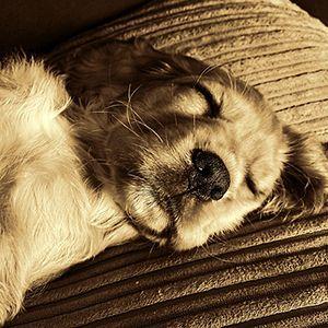 老犬の寝顔