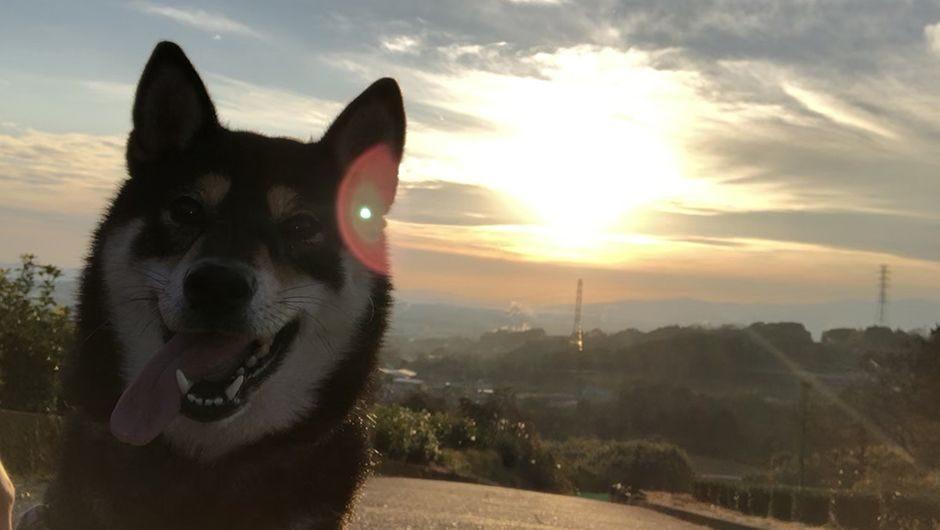 老犬ホームだいあーど富士店 柴犬と朝日