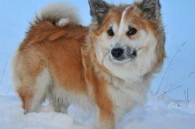 雪で遊ぶ老犬