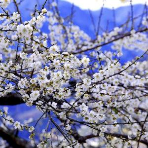 梅のイメージ画像