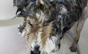老犬ホーム花園牧場 シャンプー風景