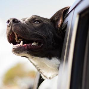 車に乗る老犬