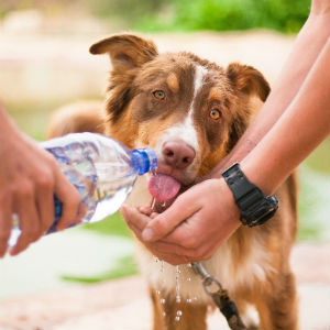 水を飲む老犬