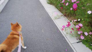 老犬ホーム・KOMUGI 介護風景(散歩)