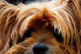 毛が長い老犬