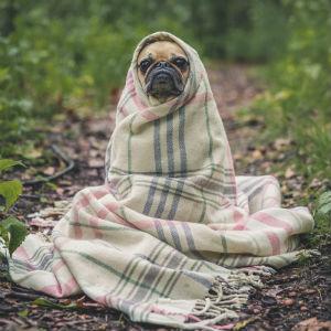 毛布にくるまる老犬