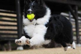 ボールをくわえて走る老犬