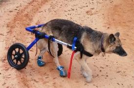ヘルニアの老犬