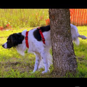 おしっこする老犬