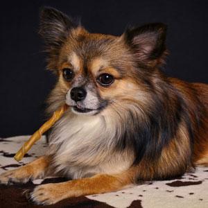 ガムを噛む老犬