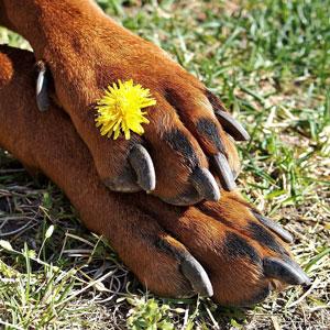 老犬の足先