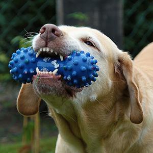 おもちゃで遊ぶ老犬