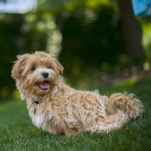 芝生の上の老犬
