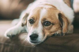 ソファの上の老犬