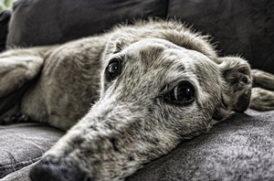 寝転ぶ老犬