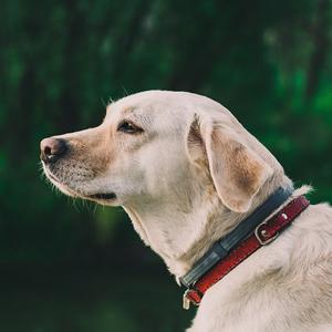 遠くを見つめる老犬