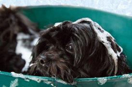 シャンプー中の老犬