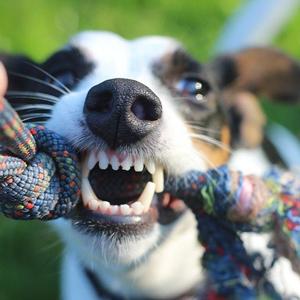 おもちゃを噛む老犬