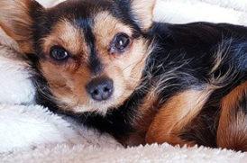 毛布の上の老犬