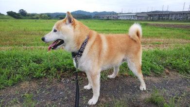老犬ホーム・KOMUGI_介護風景(お散歩)