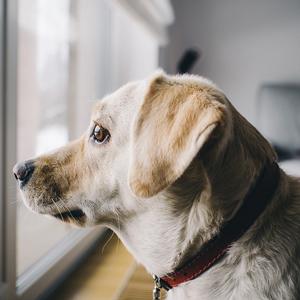 窓の外を眺める老犬