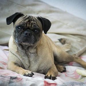 ベッドの上の老犬