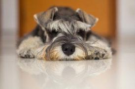 床に寝そべる老犬