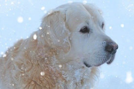 雪の中の老犬
