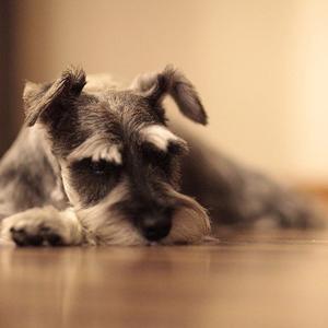床に伏せる老犬