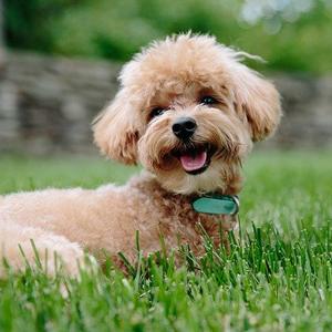 芝生の中の老犬