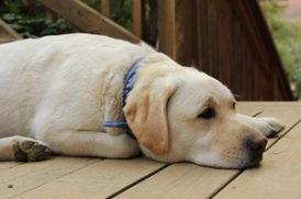 寝そべる老犬