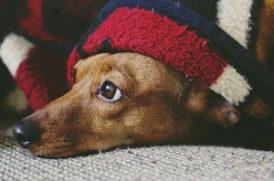 毛布から顔を出す老犬