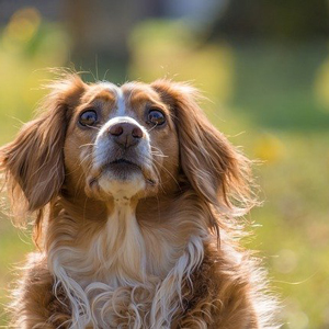見上げる老犬